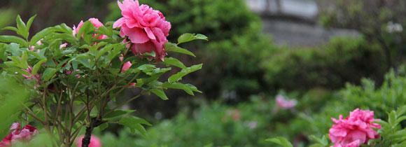盆栽牡丹花怎么养?牡丹花养殖方法
