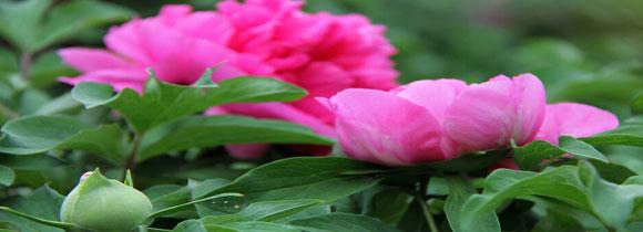 牡丹花的养殖方法,花农教你牡丹花怎么养才能养好!