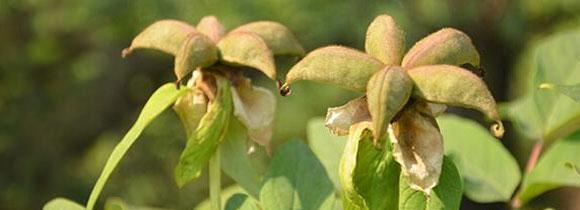 牡丹的栽培与管理技术(详细)