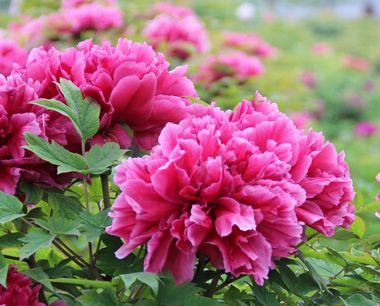 菏泽牡丹什么时候开花