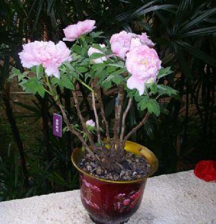 牡丹花的盆栽方法与管理要点