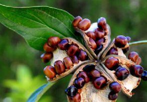 牡丹花种子怎么种?牡丹花种子种植方法